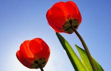 Red tulips wallpaper - Tulips