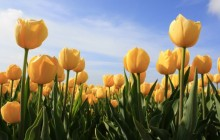 Yellow tulips wallpapers - Tulips