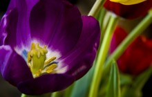 Purple tulip wallpaper
