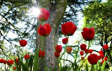 Tulips and sun wallpaper