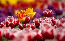 Rembrandt tulips wallpaper