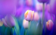 Gentle purple tulips wallpaper