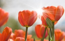 Orange tulips and sun wallpaper