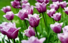 Purple parrot tulips wallpaper