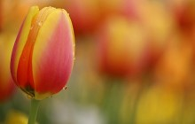 Red and yellow tulip wallpaper