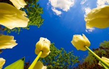 Yellow tulips and sunny sky wallpaper - Tulips
