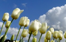 White tulips wallpaper - Tulips