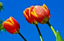 Tulips and blue sky wallpaper