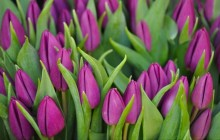 Purple tulips buds wallpaper