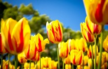 Yellow and red tulips wallpaper
