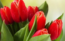 Red tulips image - Tulips