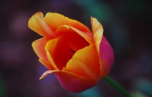 Blooming tulip wallpaper