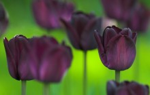 Queen of the night tulip wallpaper - Tulips