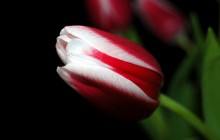 Red and white tulip wallpaper - Tulips