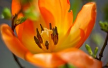 Orange tulip macro wallpaper