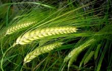 Ears of wheat wallpaper - Grass & leafs