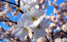 Cherry Blossoms in Spring - Cherry blossom wallpaper