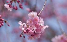 Cherry blossom background - Cherry blossoms