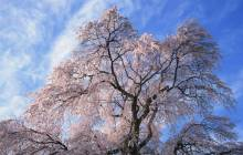 Cherry blossom tree wallpaper - Cherry blossoms