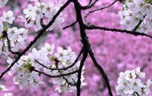 Cherry blossom backgrounds - Cherry blossoms
