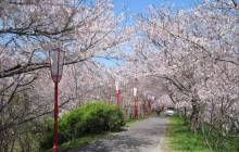 Japanese cherry blossom tree - Cherry blossoms