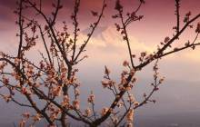 Cherry blossom pictures - Cherry blossom wallpaper