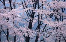 Japanese cherry blossom pictures - Cherry blossoms