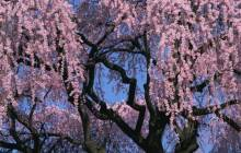 Pink cherry blossom wallpaper - Cherry blossoms