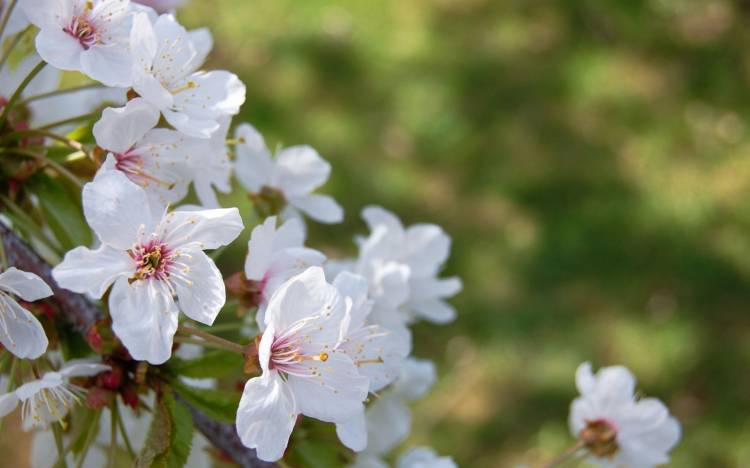 Cherry blossom photos, Cherry blossom wallpaper
