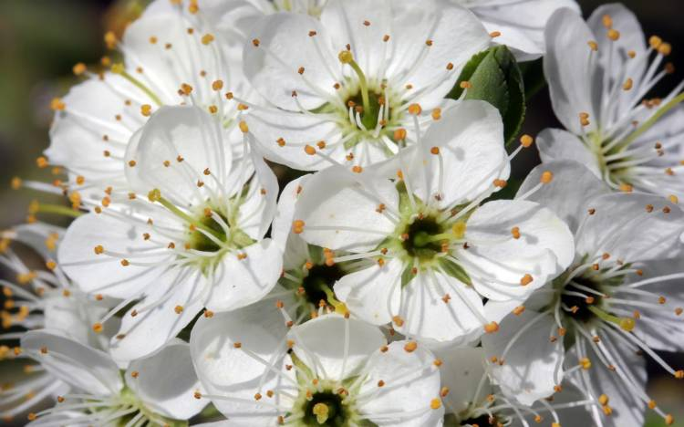Cherry blossom images, Cherry blossom wallpaper