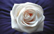 White rose wallpaper - Rose wallpaper