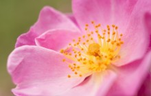 Wild rose macro wallpaper