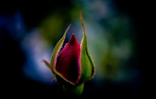 Rose bud wallpaper