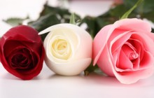 Red pink and white roses - Roses