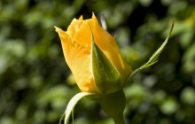 Yellow rose bud wallpaper