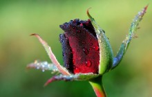 Red rose bud wallpaper