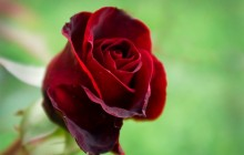 Real red rose - Roses