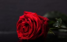 The best red rose - Roses