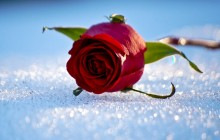 Rose on the snow wallpaper