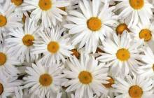 White daisies wallpaper - Daisy wallpaper