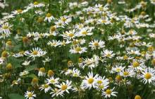 Meadow daisies wallpaper - Daisies