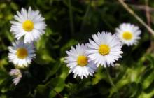 Daisy flower - Daisy wallpaper