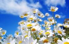 Spring daisy wallpaper - Daisy wallpaper