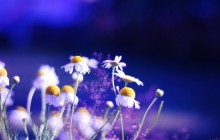 Beautiful chamomile flowers wallpaper