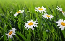 Daisies flowers wallpaper