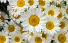 White petaled flowers wallpaper - Daisies