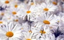 Daisy flower pictures - Daisy wallpaper