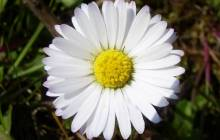 Daisy wallpapers - Daisy wallpaper