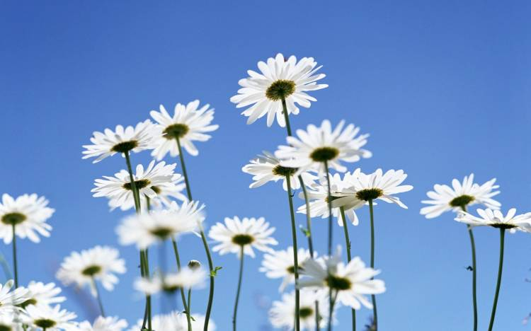 Daisy pictures, Daisy wallpaper