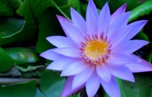Blue water lily wallpaper